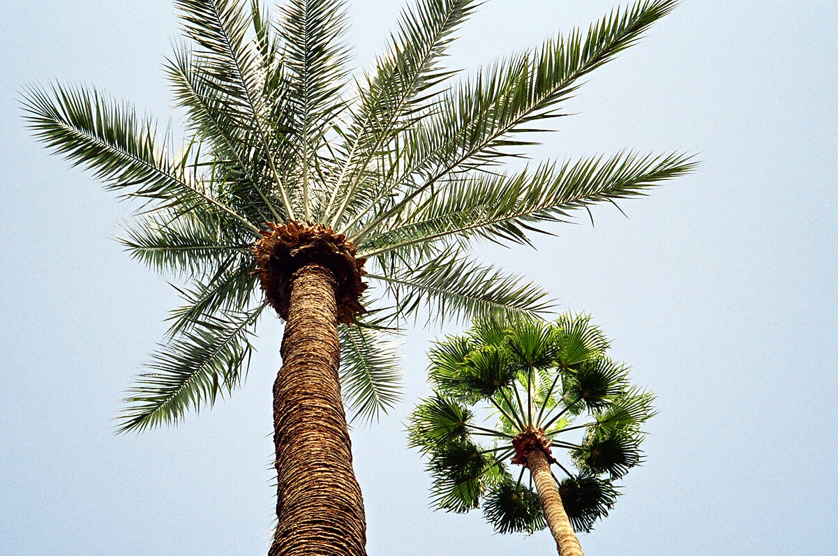 Palm trees in Marrakech